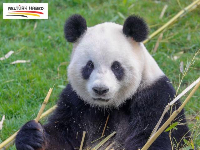 Dev pandanın, ikiz yavrusu oldu